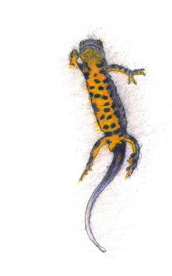 4 Great-Crested-Newt-1