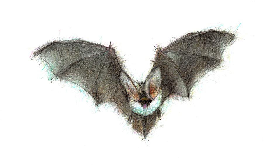 2 Grey-Long-Eared-Bat-1