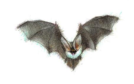 Grey-Long-Eared-Bat