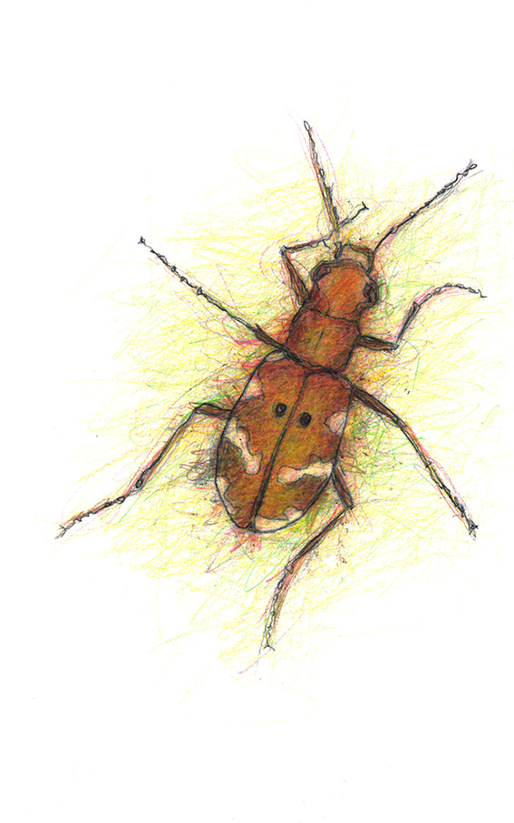 6 Northern-Dune-Tiger-Beetle-1