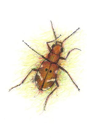 Northern-Dune-Tiger-Beetle