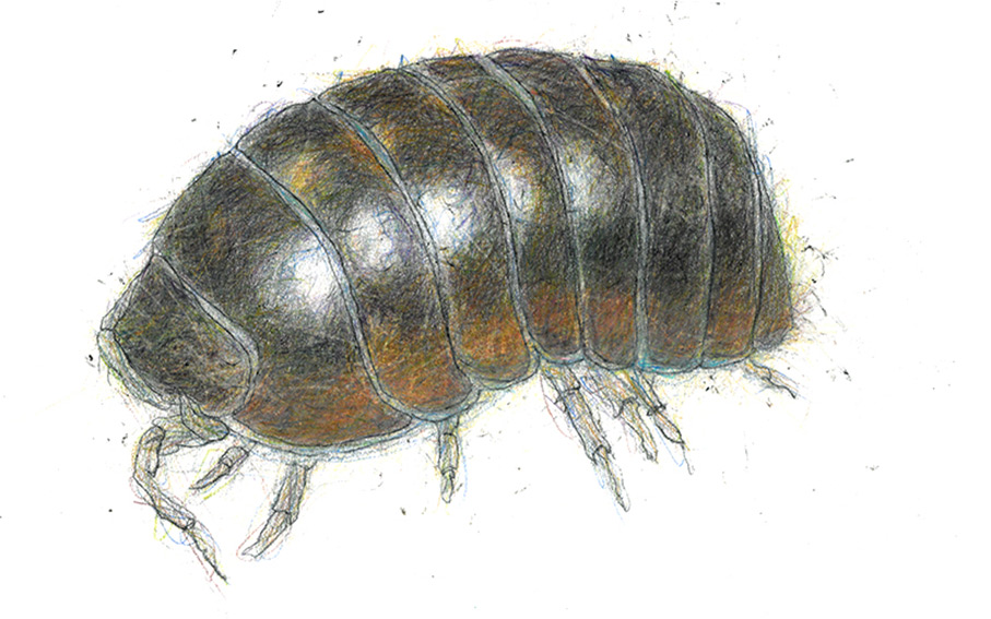 3 Pill-Woodlouse-1