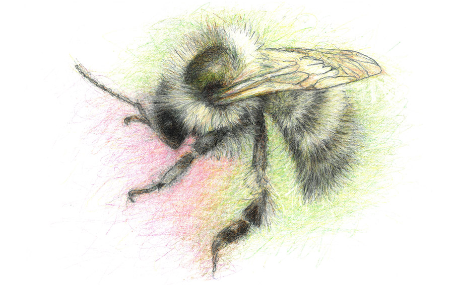 8 Shrill-Carder-Bee-1