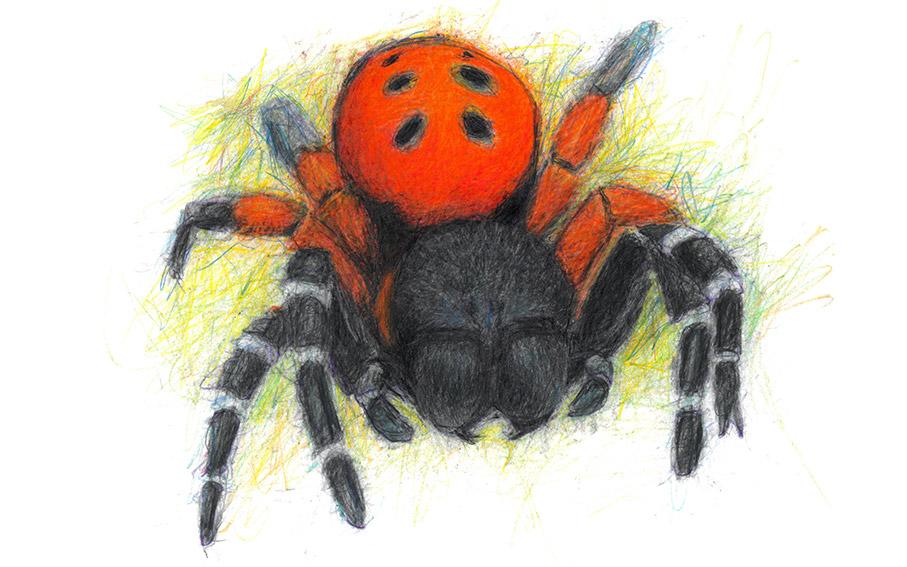 7 ladybird-spider-1