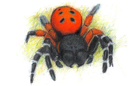 ladybird-spider